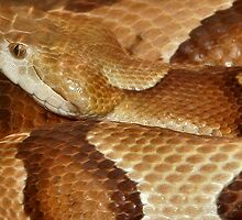 A Copperhead by Regenia Brabham