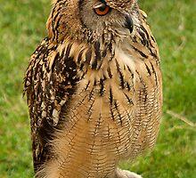 Long Eared Owl by John Thurgood