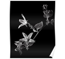 Campanula in Black and White Poster