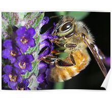 Honey Bee on Lavender Poster