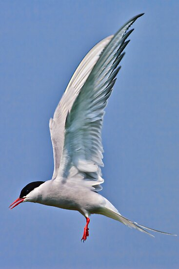 Another Arctic Tern - Sterna paradisaea by David Lewins LRPS