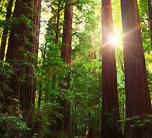 Redwood Forest by jswolfphoto