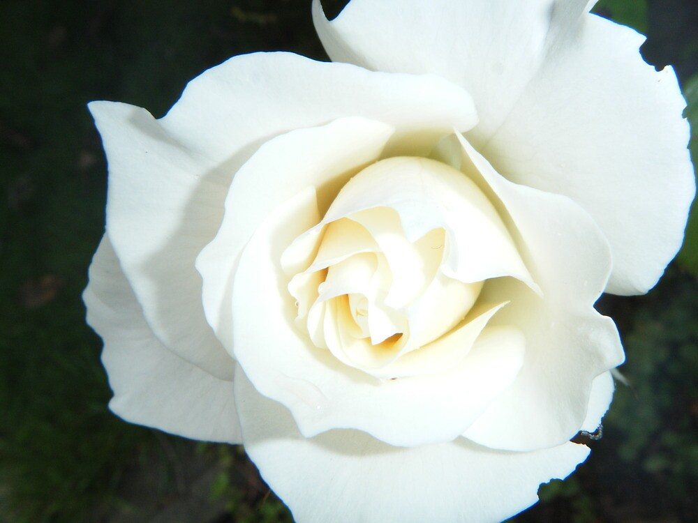 White Rose by wyvernsrose