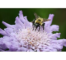 Bee with Pollen on his Nose Photographic Print
