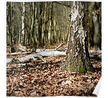 Birch wood Poster