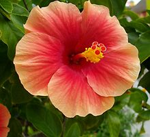 Hibiscus by tneldreth