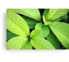 green leaf Canvas Print