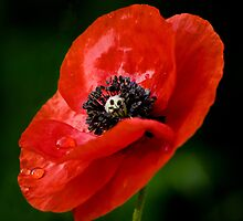 Morning Poppy by KAREN SCHMIDT