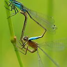 Male And Female Blue Damsel Flies by Moonlake