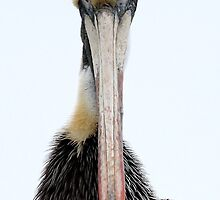 Pelican - I See You by Paulette1021