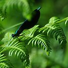 Damsel fly by Russell Couch