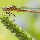 Damselfly in sunshine by AngiNelson