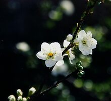 plum flowers by califpoppy1621