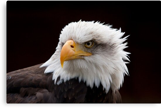 Bald Eagle by Val Saxby