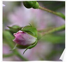 Simplistic Rosebud Poster