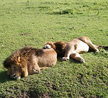 R&R, lion style. by Laura Kelk