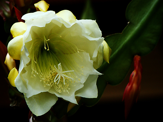 Epiphyllum White by James Birkbeck