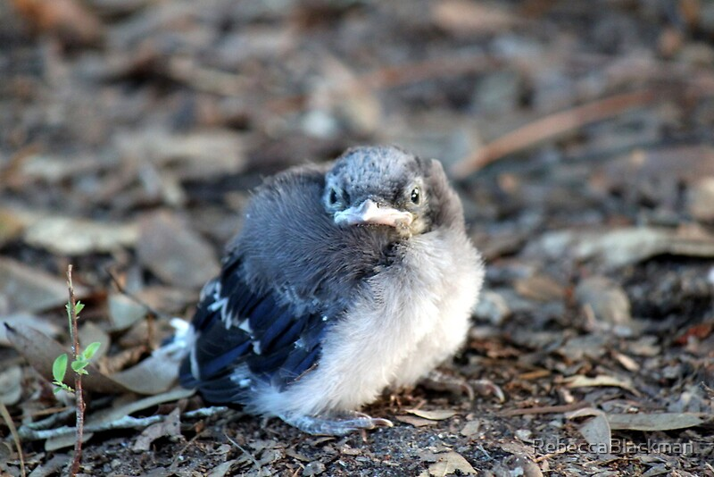 """""""Baby Blue Jay"""" by RebeccaBlackman 