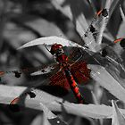 Gorgeous Red Dragonfly by Marcia Rubin