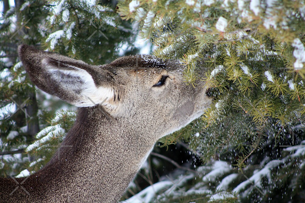Eating the Evergreens by Alyce Taylor
