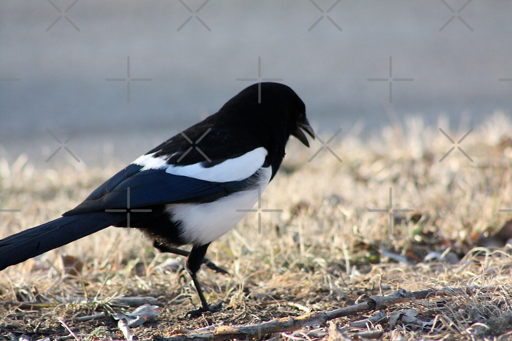Dancing Magpie by Alyce Taylor