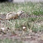 Richardson's Ground Squirrel by Alyce Taylor