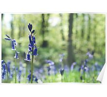Spring Bluebells Poster