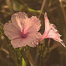 Morning Glory Pink by Rosalie Scanlon