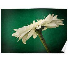 Leucanthemum Highland White Dream 2 Poster