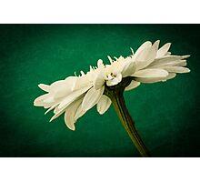 Leucanthemum Highland White Dream 2 Photographic Print
