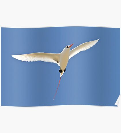 Red Tailed TropicBird Poster