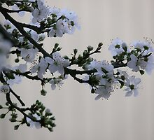 White Blossoms from an Ornamental Plum by elsha