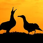 Dancing Black Footed Albatrosses  by Gina Ruttle  (Whalegeek)