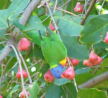 Rainbow Lorikeet eating Lilly Pilly Fruit by elsha