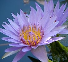 Waterlily by elsha