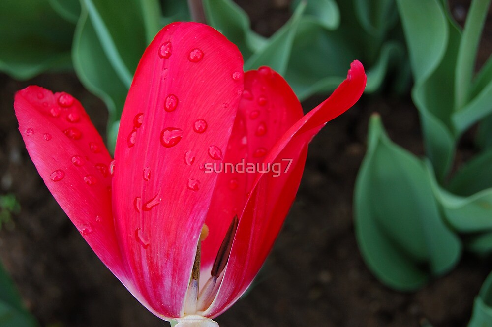 Raindrops On Tulip by sundawg7