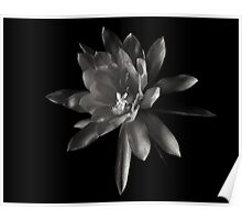 Epiphylum Padre in Black and White Poster