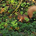 red squirrel  bright eyed and bushy tailed by Grandalf