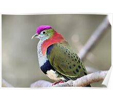 Superb Fruit-dove Poster