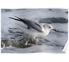 Sea Gull Getting Wet Poster