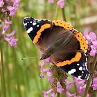 Red Admiral Wings Spread by Kathleen Brant