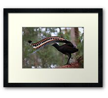 Superb lyrebird. Framed Print