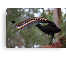 Superb lyrebird. Canvas Print
