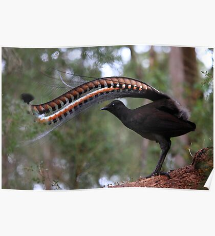 Superb lyrebird. Poster