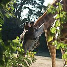 Giraffe going to eat some leaves by lettie1957