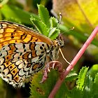 Glanville Fritillary Underwing by Durotriges