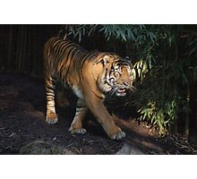 Tiger worried about his cubs Photographic Print