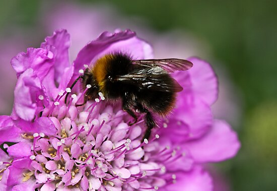 Early bumble bee by inkedsandra