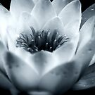 Water Lily Centre (black and white) by shane22
