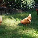 Free range chickens by Rainydayphotos